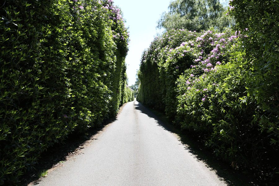 entrance driveway with tall rhododendrons