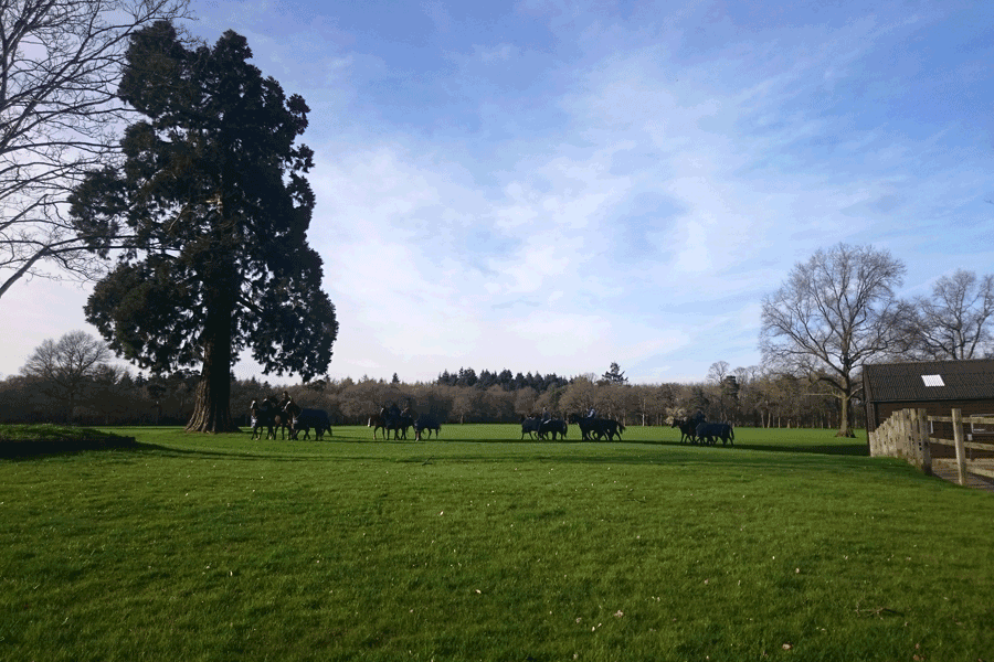 polo ponies crossing a field