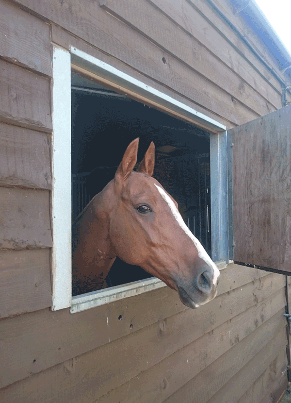 polo pony looking out of stable